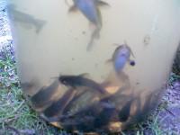 PARDUDOU TUNELINIUS SAMUS (channel catfish)